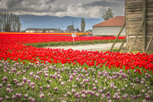 Tulip Scott Richards
